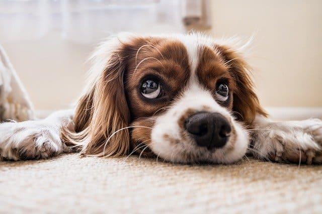 שטיחים וחיות - עד כמה ניתן לשלב שטיח בבית בו יש חיות מחמד?